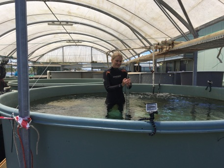 Setting up habitat choice experiment in Queenscliff Marine Facility.